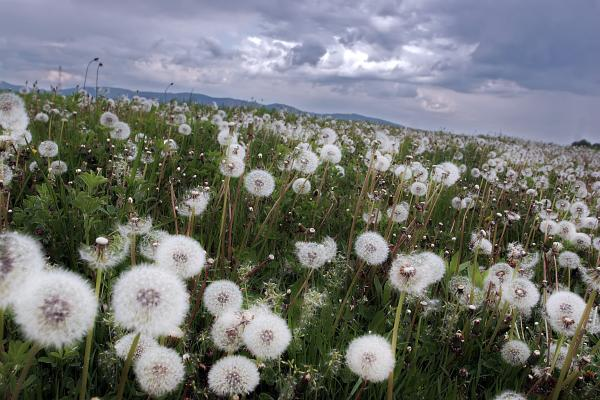 dandelion-field-floriana-barbu